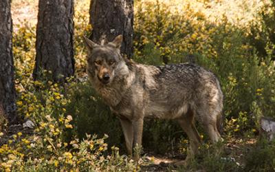 Fundación Artemisan pone a disposición de los interesados alegaciones contra la inclusión del lobo en el LESPRE.