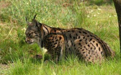 Los cazadores se personarán como acusación particular en el caso del lince abatido por un furtivo en Doñana.