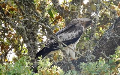 Campeando: El águila calzada.